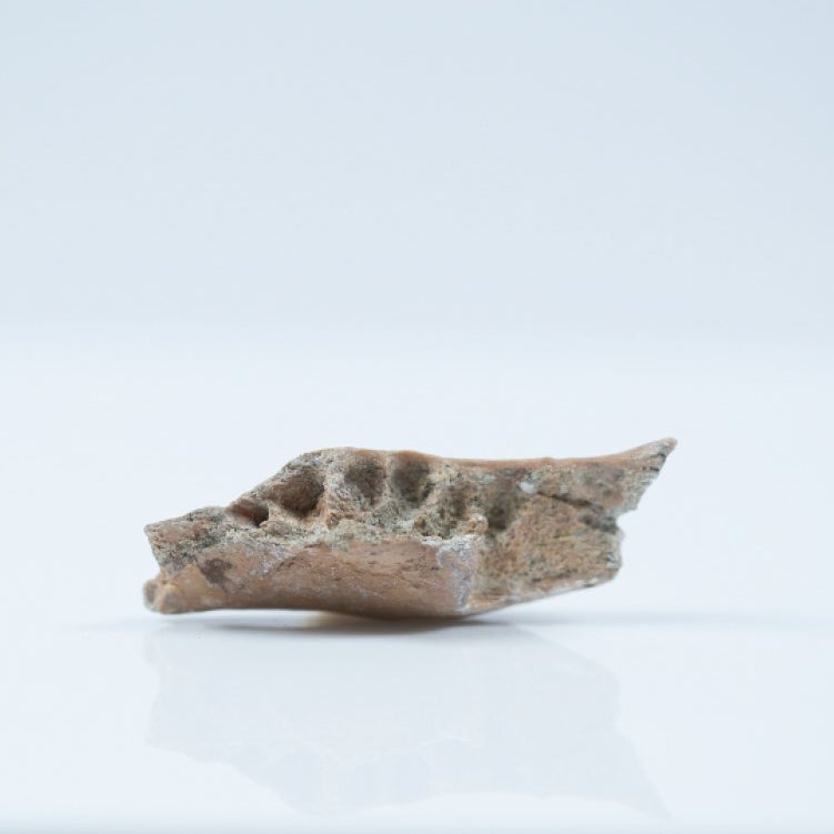 A piece of fossil jawbone.