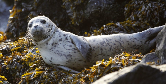 A harbor seal pup rests on seaweed-covered rocks off Seattle.