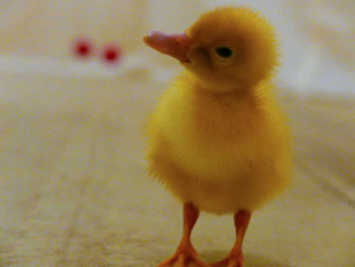 """The research, published in the journal Science today, shows that ducklings can recognise the concept of """"same"""" and """"different"""". But the researchers didn't train the ducklings to understand these concepts. Instead, they used a powerful mechanism known as """"imprinting"""". Shortly after they hatch, baby ducks """"imprint"""" on their mother so they can recognise her and follow her around. Ducklings can imprint on any moving object they see in the period during which they're susceptible – it doesn't have to be another duck."""
