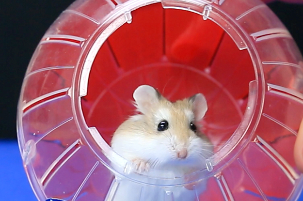 Pinterest Home All: Let Your Hamster Catch €�Em All With This DIY Exercise Ball