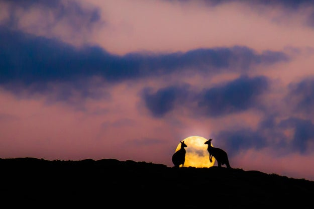 These Kangaroos Boning Under A Full Moon Will Make You Question Your Love Life
