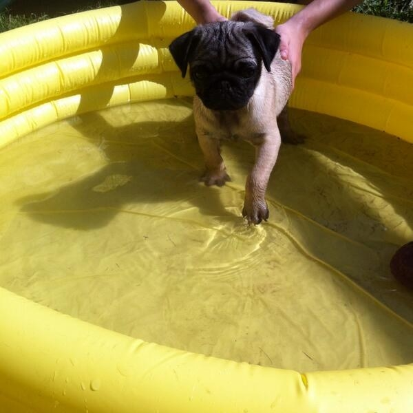 This pug puppy making a splash.
