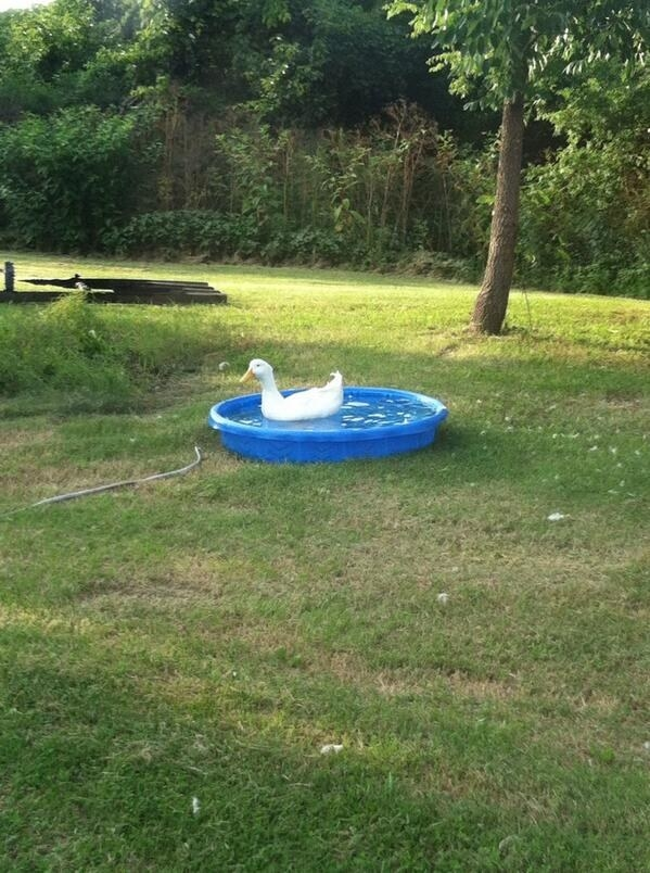 This duck having a nice time in the pool.