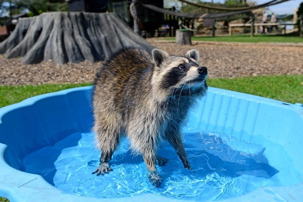 And this sneaky raccoon taking a dip.