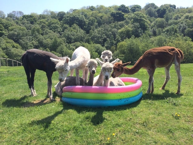 And this alpaca pool party.
