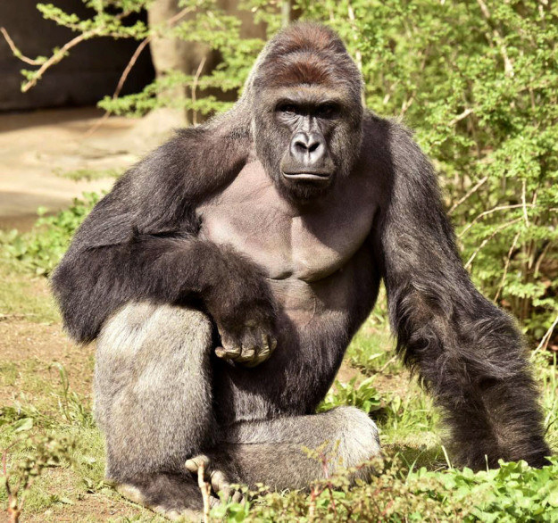 These Guys Had Google Name A Street For Harambe, The Gorilla Who Died