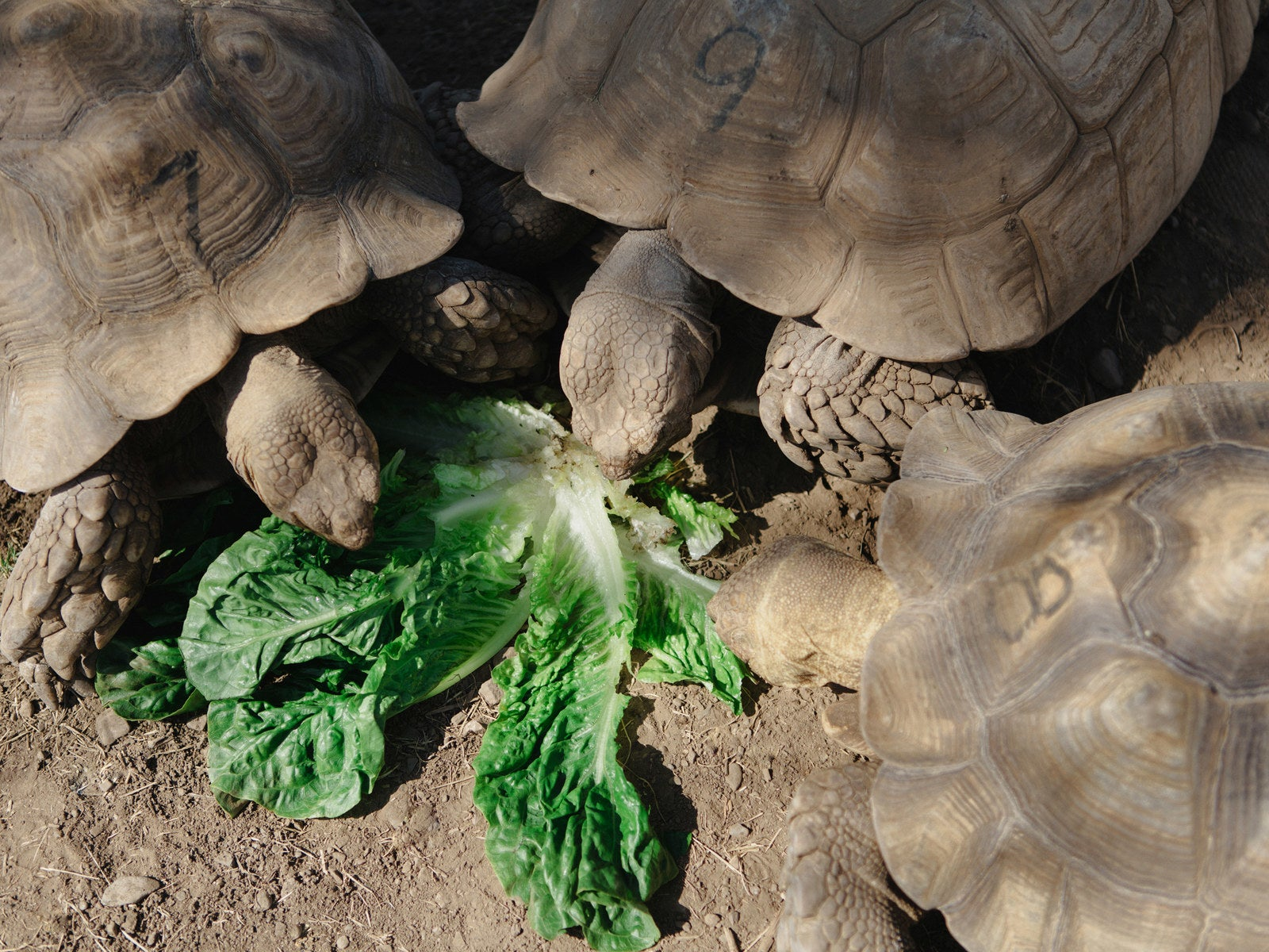 how sulcata tortoises became america u0027s most adorable mistake