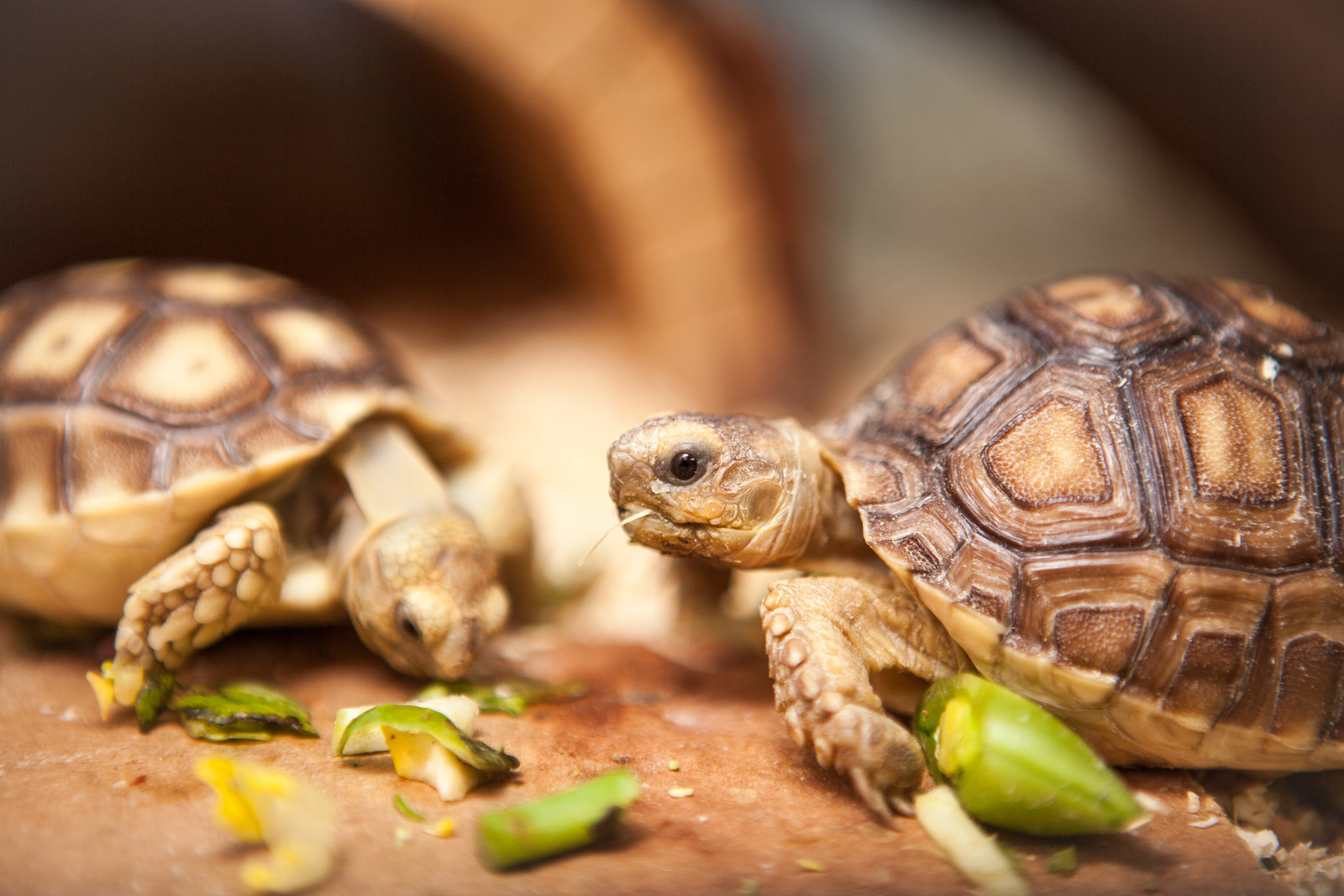 How Sulcata Tortoises Became America's Most Adorable Mistake