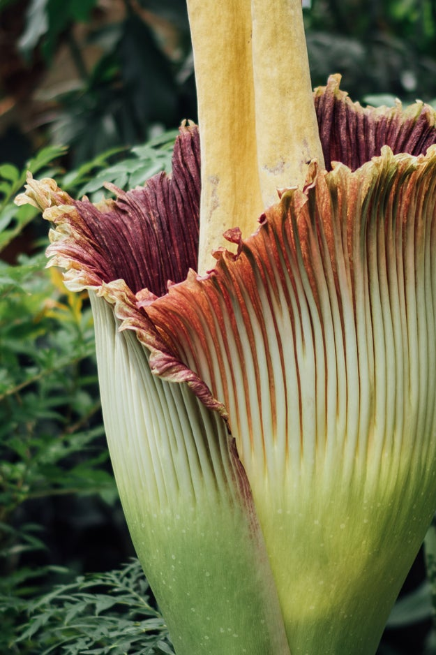 According to the NYBG, the rare plant, Amorphophallus titanum (also known as titan-arum), hasn't bloomed since 1939.