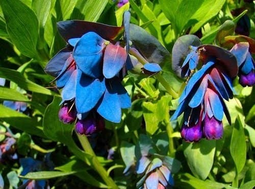 1 The Blue Honeywort