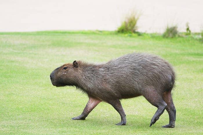 カピバラはリオなどの中南米の水辺近くに住んでいる。モルモットにも似ているが、、、約60センチもある。