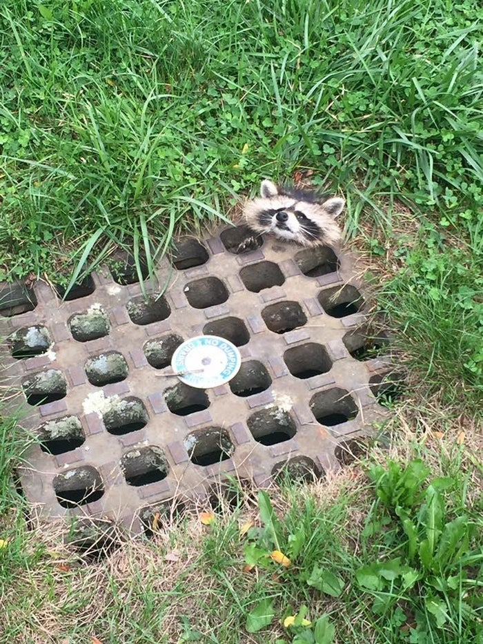 """Northampton police told BuzzFeed News the raccoon, who was """"not a baby but still young,"""" got stuck near the local Veterans Affairs Medical Center."""