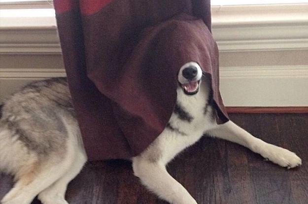 17 Hunde, die einfach sehr schlecht im Verstecken sind