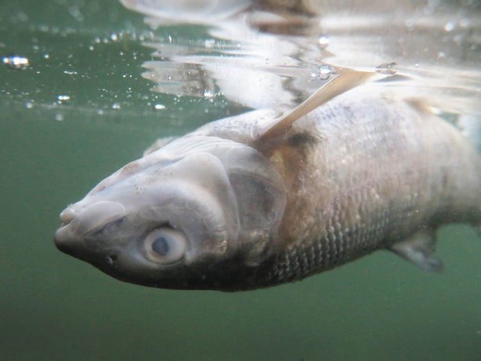 A dead whitefish floats belly up near in the Yellowstone River in Livingston, Montana.