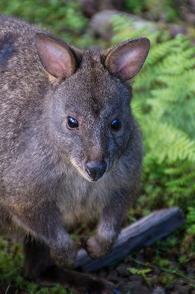 Tasmanian Pademelon in Cradle Mountain National Park