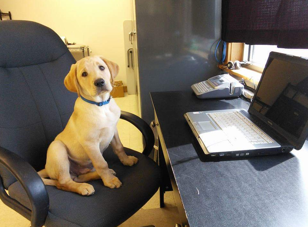 Lazy dog in office