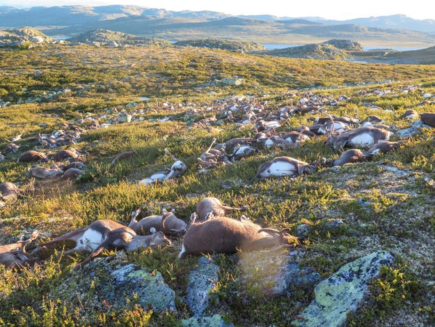 These Images Of 300 Reindeer Killed By A Lightning Strike Will Break Your Heart