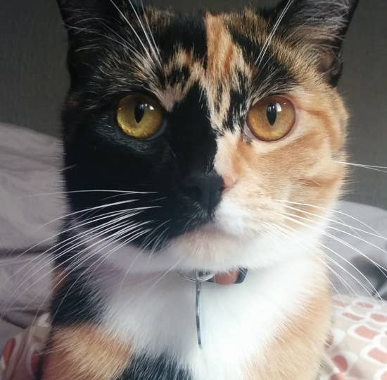 Oh My Goodness Chimera Cats Are Twice As Beautiful As Regular Cats - Venus cat two faces making twice adorable