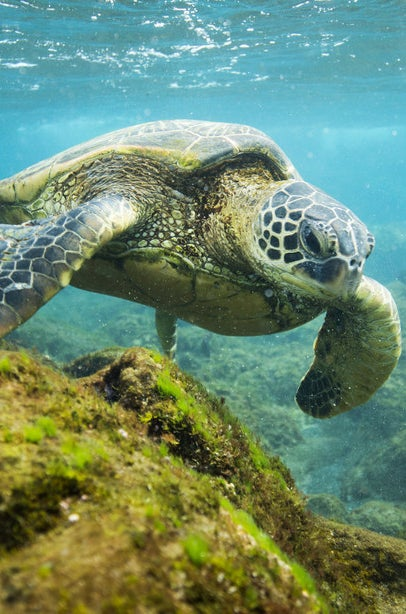 Hawaiian turtle