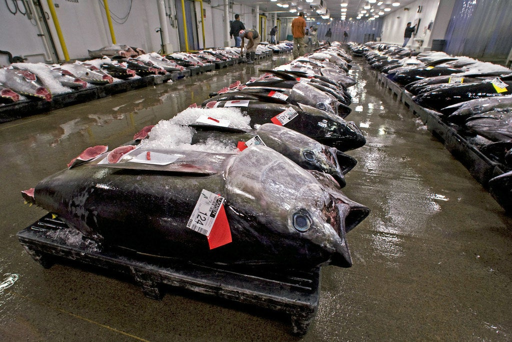 Bigeye tuna at auction in Honolulu