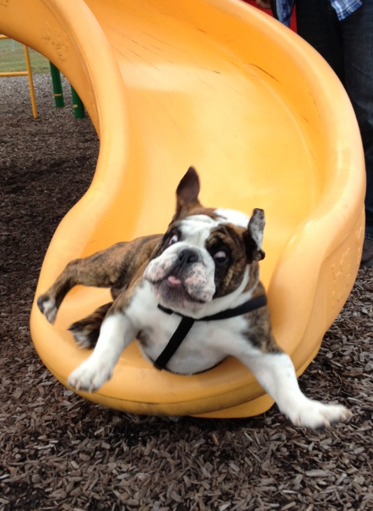 22 Reasons Bulldogs Are Dangerous, Heartless Monsters