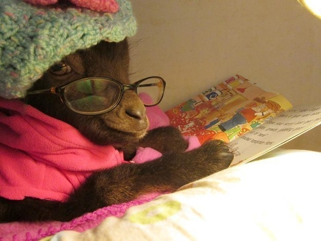 This sophisticated goat who would LOVE to read you a bedtime story.