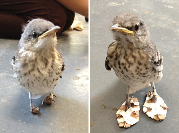 This bird who got special shoes made for his deformed feet.