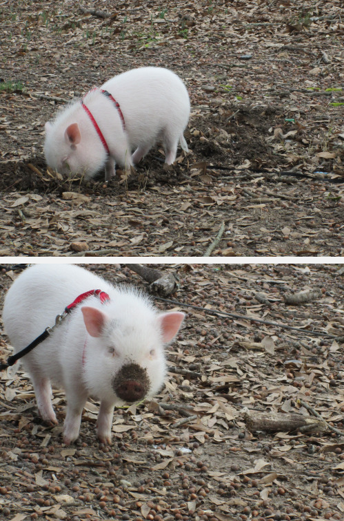 This piggy doing important gardening work.