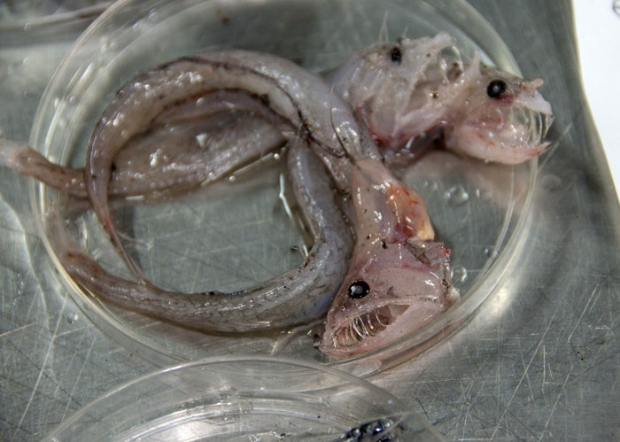 Swallower fish that were found off the coast of Hawaii's Big Island.