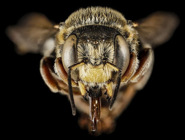 Yellow-faced bee.