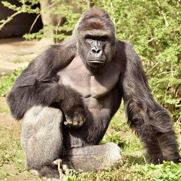 I know, the Cincinnati Zoo tweeted out asking everyone to shut up about Harambe, but you know what. NO.Everything that I do this year in school will be for Harambe.
