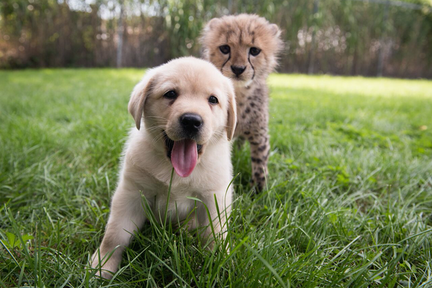 """If you place the puppy with the cubs, then pretty soon the cubs don't realize — they think it's their brother, their sister,"" Suzi Rapp, the zoo's Animal Programs Director, explained to CBS News in July."