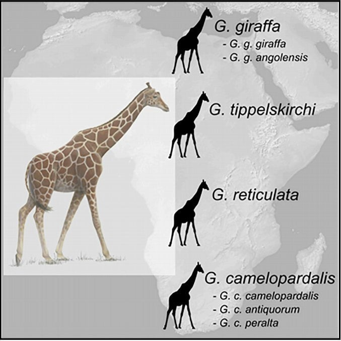 The four new giraffe species, and their subspecies.