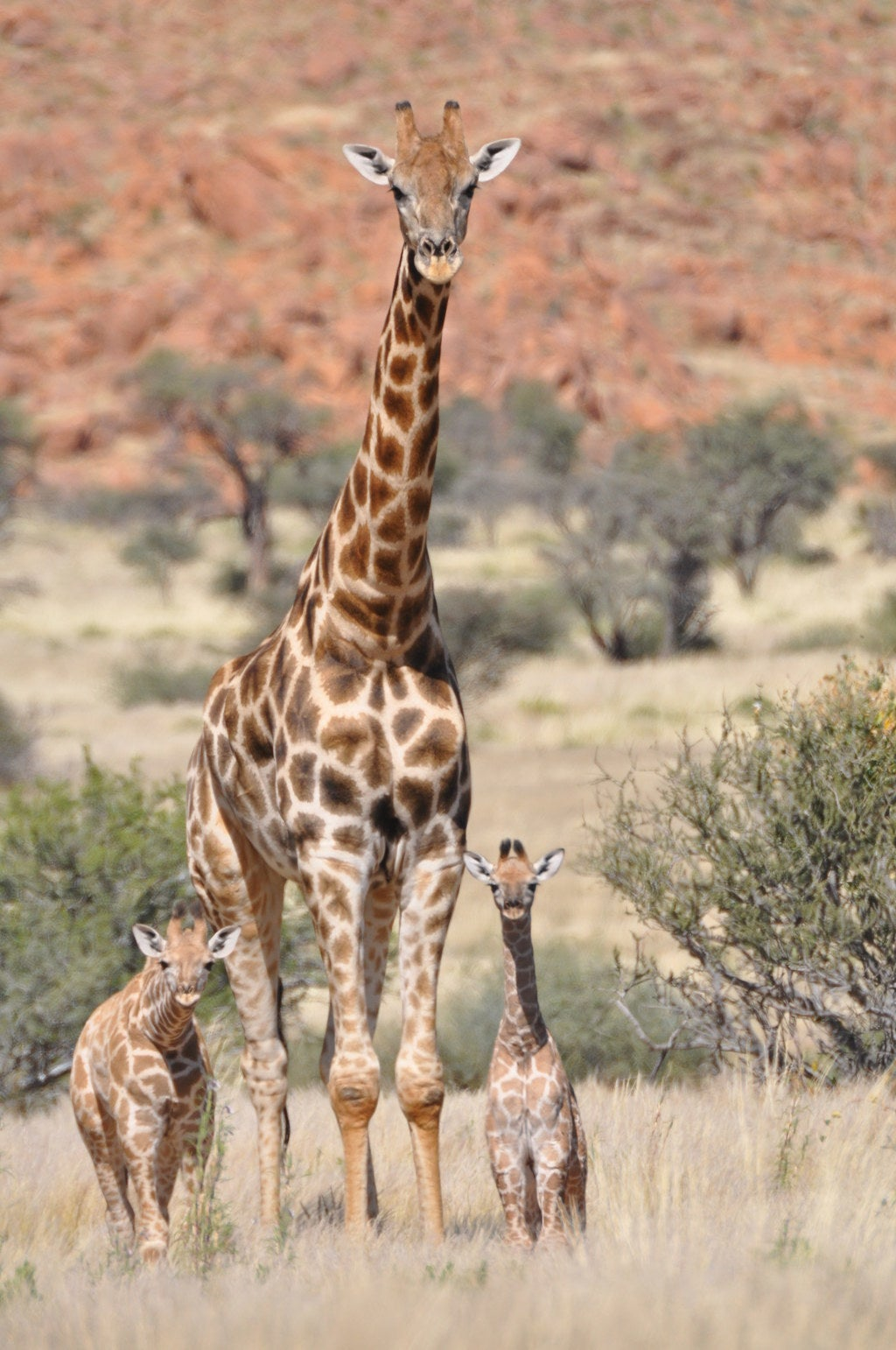 A male giraffe with two calves.