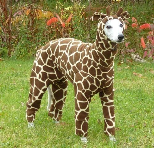 Esta é uma girafa africana selvagem.