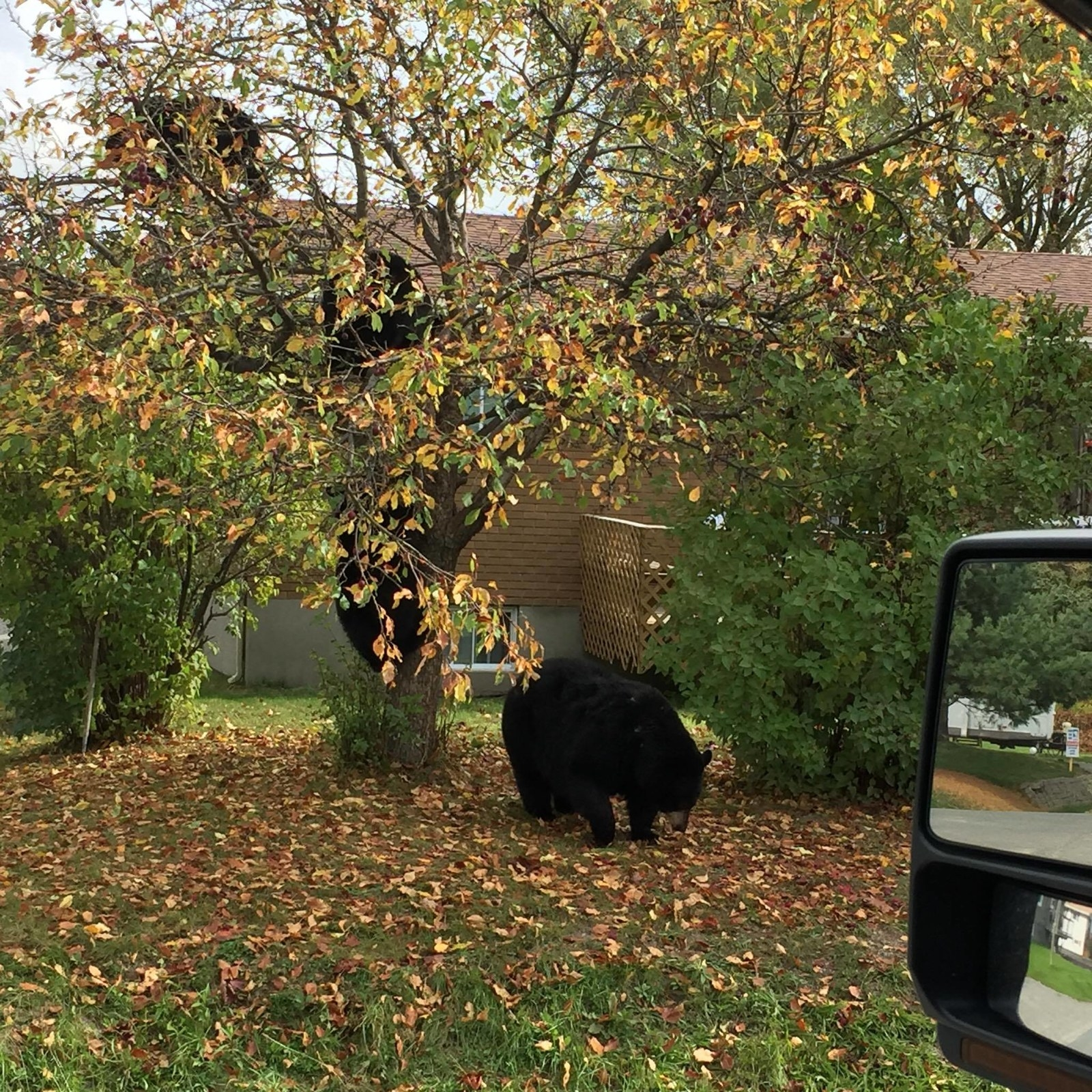 This Woman Saw A Whole Family Of Bears In The Same Tree