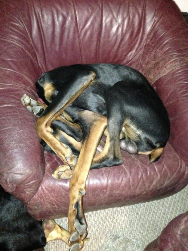 No momento do sono, muitos cães se esquecem de como ser cães.