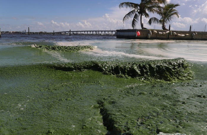 Foul-smelling algae along the St. Lucie River in July.