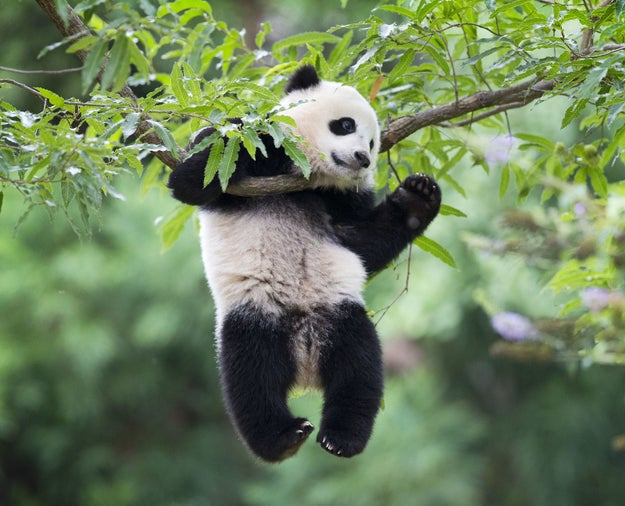 These Giant Pandas Are Leaving The US For China Because 2016 Isn't Done With Us