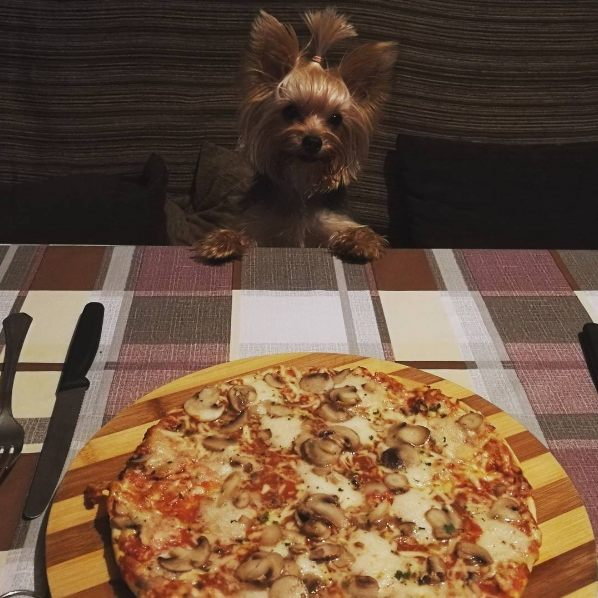This bite-sized Yorkie with impeccable table manners:
