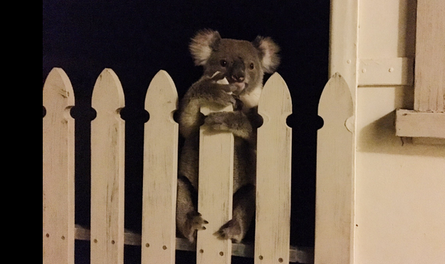 People Are In Love With This Wayward Koala A Woman Found Peeking Over Her Fence