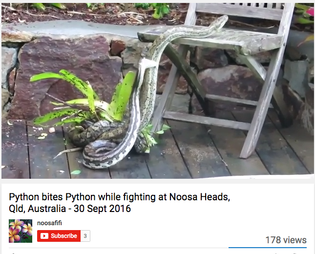 In this video, the smaller python actually bites the bigger one before the pair break into a scuffle. Like, a slithery scuffle.
