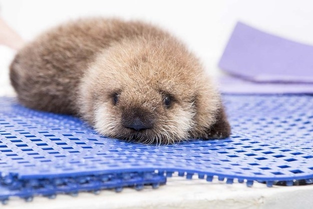 And finally, this tiny and fuzzy baby otter!