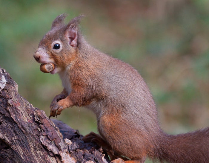 Red squirrel with possible leprosy, mild alopecia on ear.