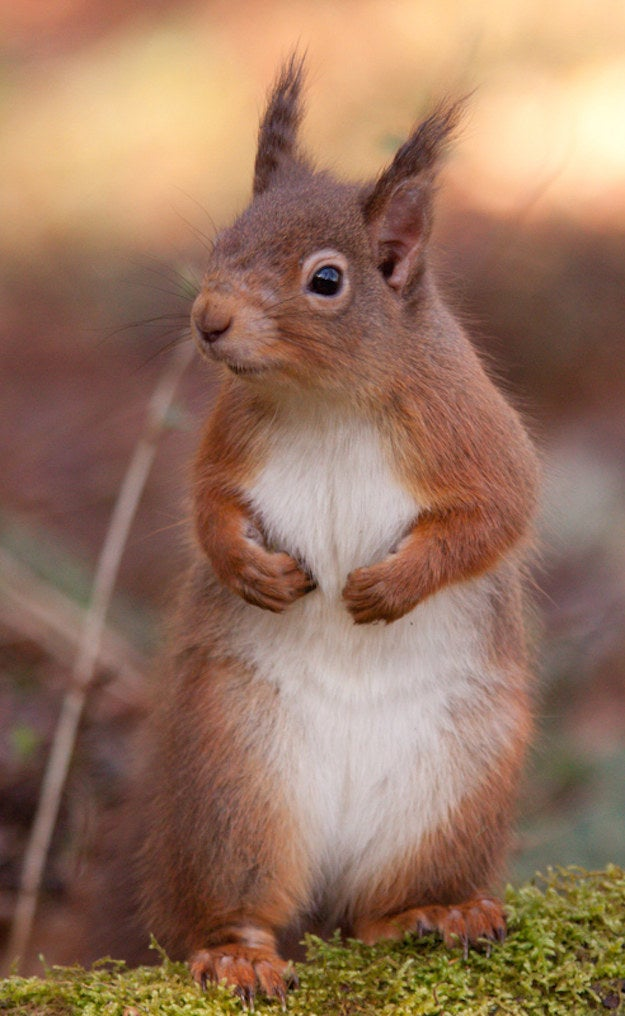 Red squirrel with mild leprosy lesions