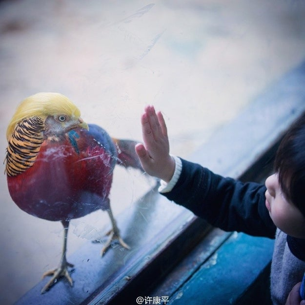 The bird is a golden pheasant that belongs to the Hanzhou Safari Park in Zhejiang Province.