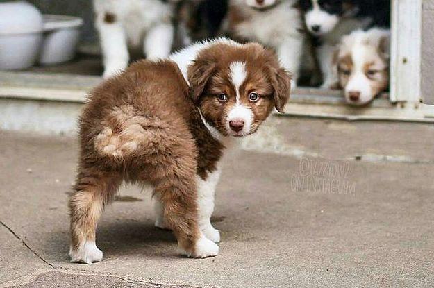 17 Reasons Australian Shepherds Are The World S Best Dogs