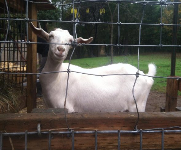 Wait omg, we're moving on to goats now? And it's a smiling goat??? YES!