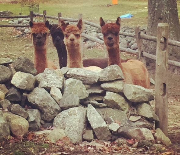 Maybe these alpacas? I don't even mind that it's a little creepy how they're staring because they are still cute tbh.