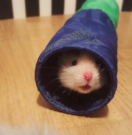 And this hamster who is a little shy about how fluffy he really is.